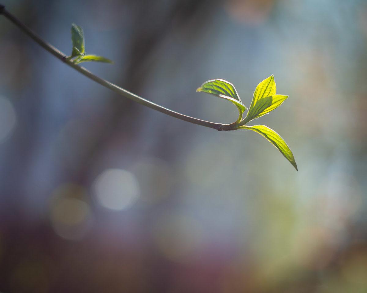 Nahaufnahme von ganz jungen Blättern an einem Zweig